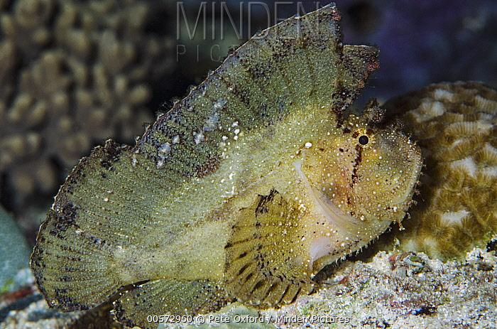 Leaf Scorpionfish (Taenianotus triacanthus), Ambon, Banda Sea, Indonesia