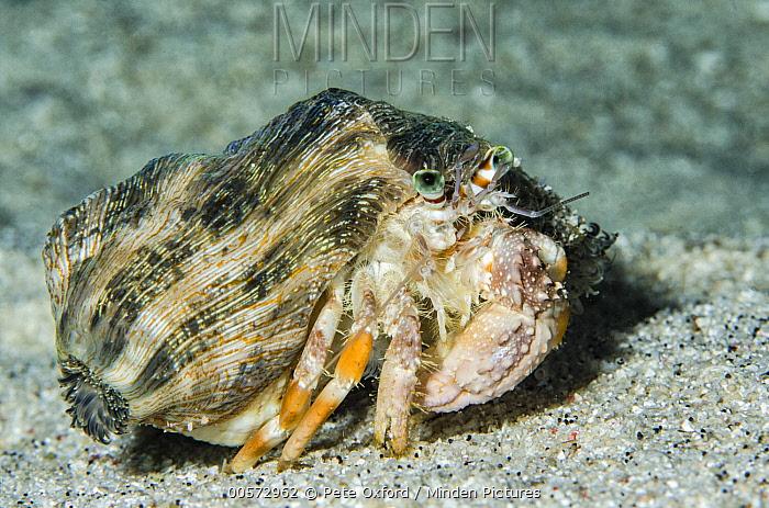 Pale Anemone Hermit Crab (Dardanus deformis), Banda Sea, Indonesia