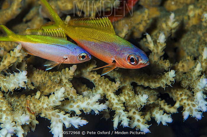 Goby (Gobiidae) pair, Banda Sea, Indonesia