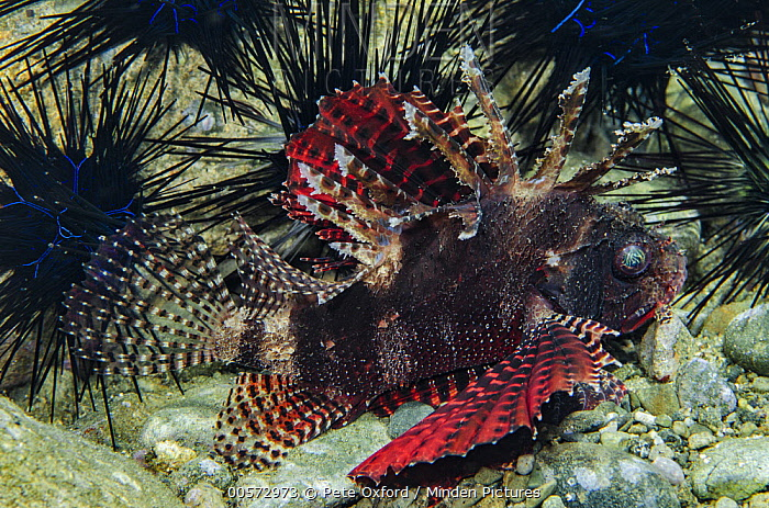 Shortfin Turkeyfish (Dendrochirus brachypterus) and sea urchins, Banda Sea, Indonesia