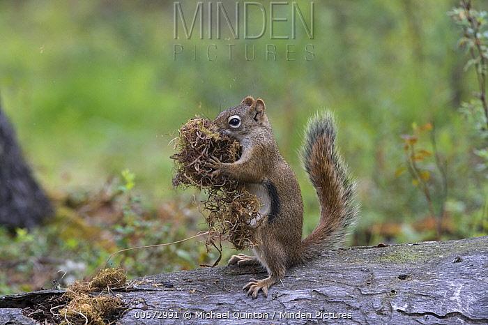 Douglas's Squirrel (Tamiasciurus douglasii) collecting nesting material, Alaska