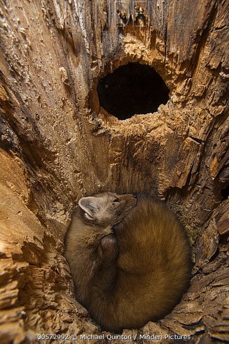 American Marten (Martes americana) sleeping in tree cavity, Alaska