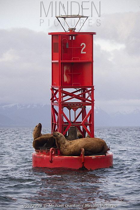 Steller's Sea Lion (Eumetopias jubatus) group on buoy, Alaska