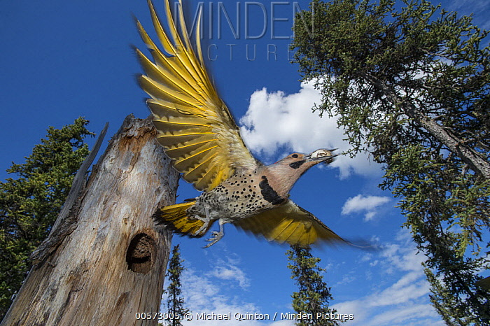 Northern Flicker (Colaptes auratus) carrying fecal sac from nest cavity in forest, Alaska