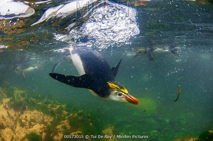 Royal Penguin (Eudyptes schlegeli) trio swimming, Macquarie Island, Australia