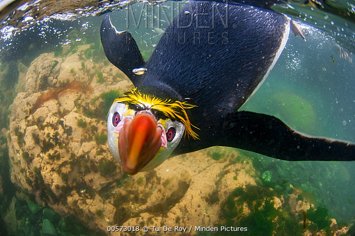 Royal Penguin (Eudyptes schlegeli) swimming, Macquarie Island, Australia