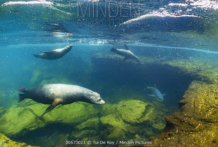 Galapagos Sea Lion (Zalophus wollebaeki) trio herding Yellowfin Tuna (Thunnus albacares) into shallow water, Punta Albemarle, Isabela Island, Galapagos Islands, Ecuador