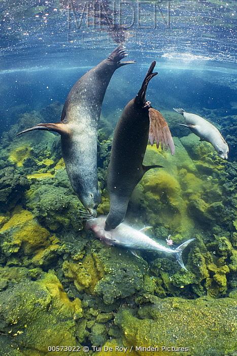 Galapagos Sea Lion (Zalophus wollebaeki) trio feeding on Yellowfin Tuna (Thunnus albacares) prey, which they have herded into shallow water, Punta Albemarle, Isabela Island, Galapagos Islands, Ecuador