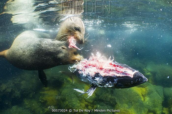 Galapagos Sea Lion (Zalophus wollebaeki) bull and young female feeding on Yellowfin Tuna (Thunnus albacares) prey, which they herded into shallow water, Punta Albemarle, Isabela Island, Galapagos Islands, Ecuador