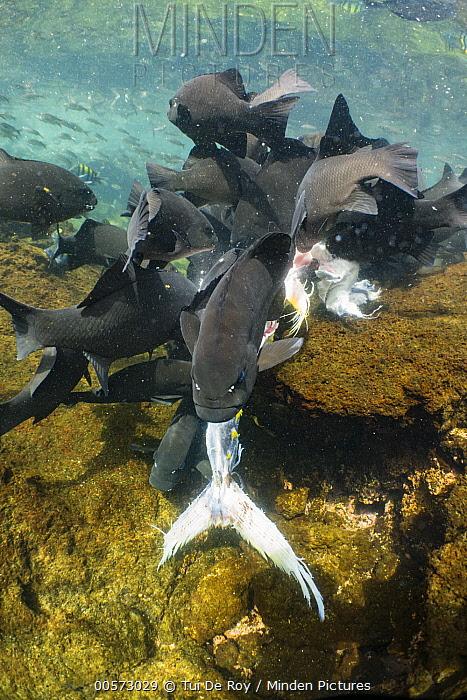 Dusky Chub (Girella freminvillei) school feeding on Yellowfin Tuna (Thunnus albacares) carcass, Punta Albemarle, Isabela Island, Galapagos Islands, Ecuador