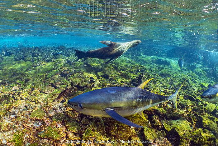 Galapagos Sea Lion (Zalophus wollebaeki) herding Yellowfin Tuna (Thunnus albacares) into shallow water, Punta Albemarle, Isabela Island, Galapagos Islands, Ecuador