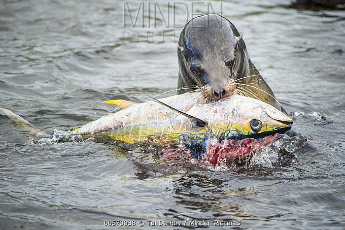 Galapagos Sea Lion (Zalophus wollebaeki) feeding on Yellowfin Tuna (Thunnus albacares) prey, which it herded into shallow water, Punta Albemarle, Isabela Island, Galapagos Islands, Ecuador