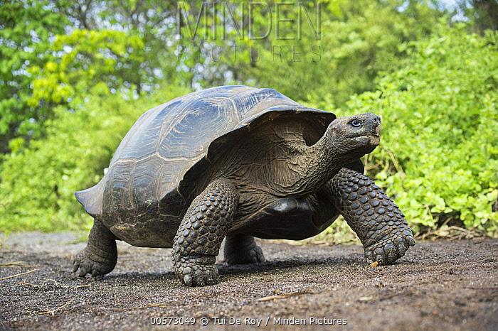 Volcan Alcedo Giant Tortoise (Chelonoidis vandenburghi), Urvina Bay, Isabela Island, Galapagos Islands, Ecuador