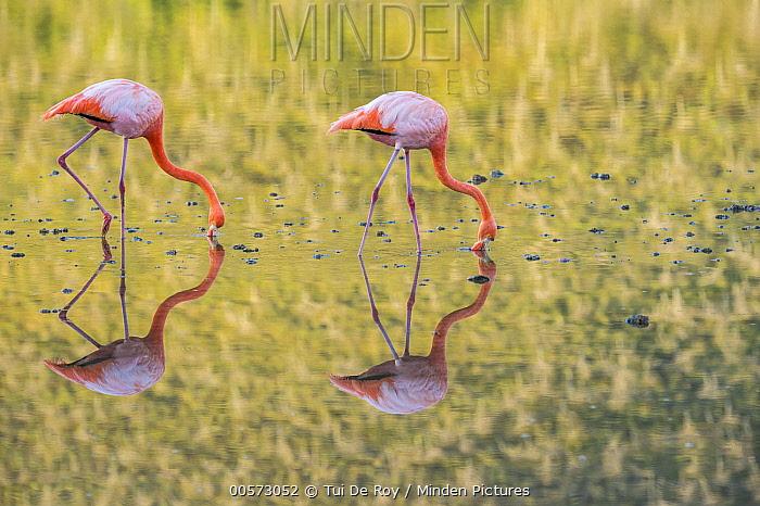 Greater Flamingo (Phoenicopterus ruber) pair foraging, Punta Cormorant, Floreana Island, Galapagos Islands, Ecuador