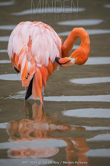 Greater Flamingo (Phoenicopterus ruber) preening, Punta Cormorant, Floreana Island, Galapagos Islands, Ecuador