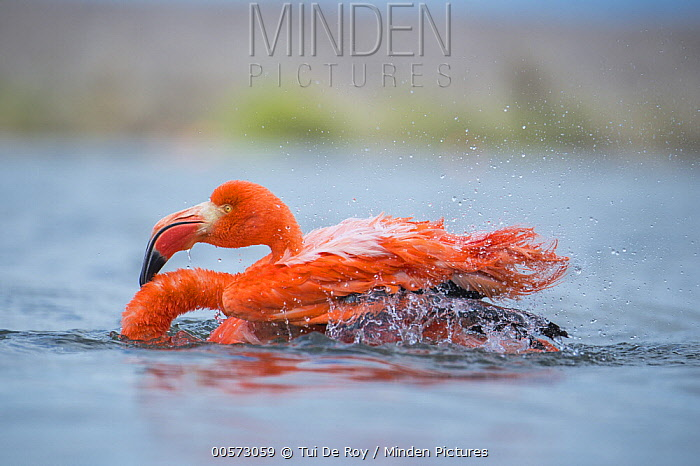 Greater Flamingo (Phoenicopterus ruber) bathing, Punta Cormorant, Floreana Island, Galapagos Islands, Ecuador