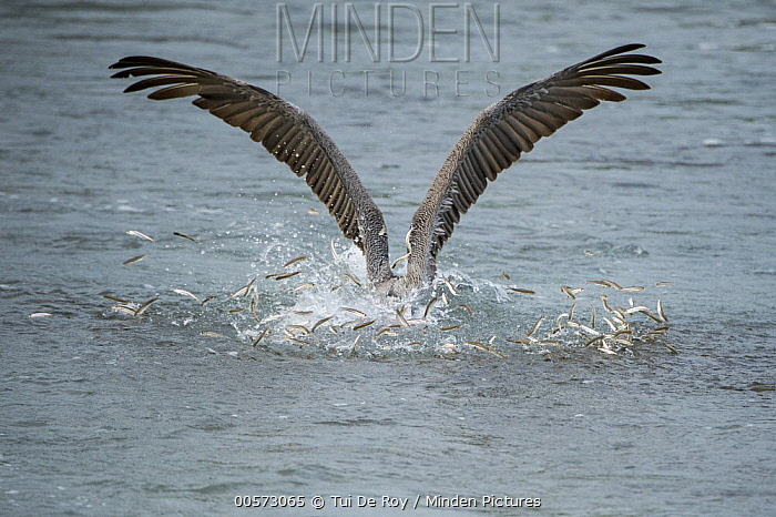 Brown Pelican (Pelecanus occidentalis) hunting baitfish, Urvina Bay, Isabela Island, Galapagos Islands, Ecuador