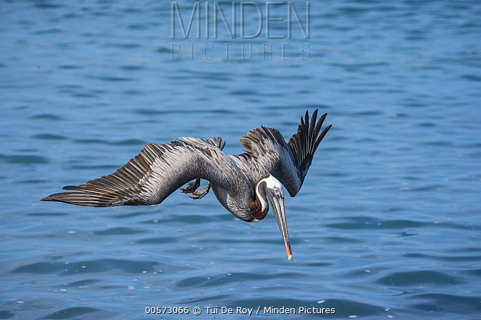 Brown Pelican (Pelecanus occidentalis) plunge diving, Urvina Bay, Isabela Island, Galapagos Islands, Ecuador