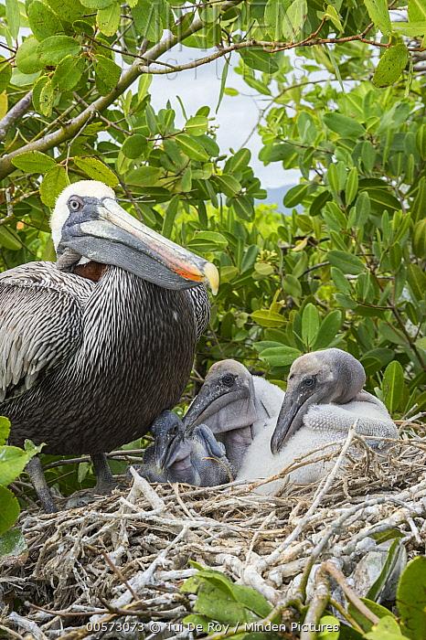 Brown Pelican (Pelecanus occidentalis) on nest with chicks, Academy Bay, Santa Cruz Island, Galapagos Islands, Ecuador