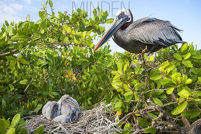 Brown Pelican (Pelecanus occidentalis) at nest with chicks, Academy Bay, Santa Cruz Island, Galapagos Islands, Ecuador