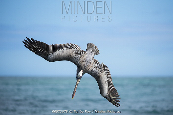 Brown Pelican (Pelecanus occidentalis) plunge diving, Urvina Bay, Isabela Island, Galapagos Islands, Ecuador, sequence 1 of 4