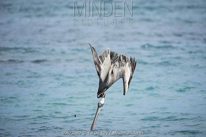 Brown Pelican (Pelecanus occidentalis) plunge diving, Urvina Bay, Isabela Island, Galapagos Islands, Ecuador, sequence 3 of 4