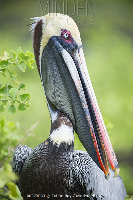Brown Pelican (Pelecanus occidentalis), Urvina Bay, Isabela Island, Galapagos Islands, Ecuador