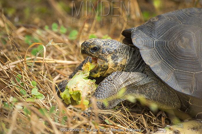 Saddleback Galapagos Tortoise (Chelonoidis hoodensis) young feeding, Fausto Llerena Tortoise Center, Santa Cruz Island, Galapagos Islands, Ecuador