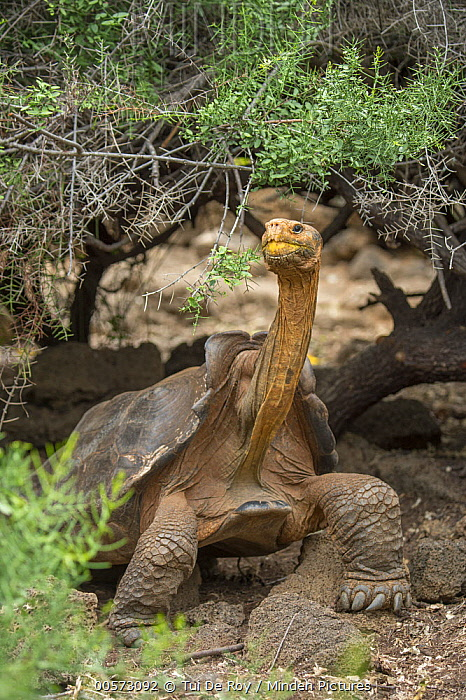 Saddleback Galapagos Tortoise (Chelonoidis hoodensis), Fausto Llerena Tortoise Center, Santa Cruz Island, Galapagos Islands, Ecuador