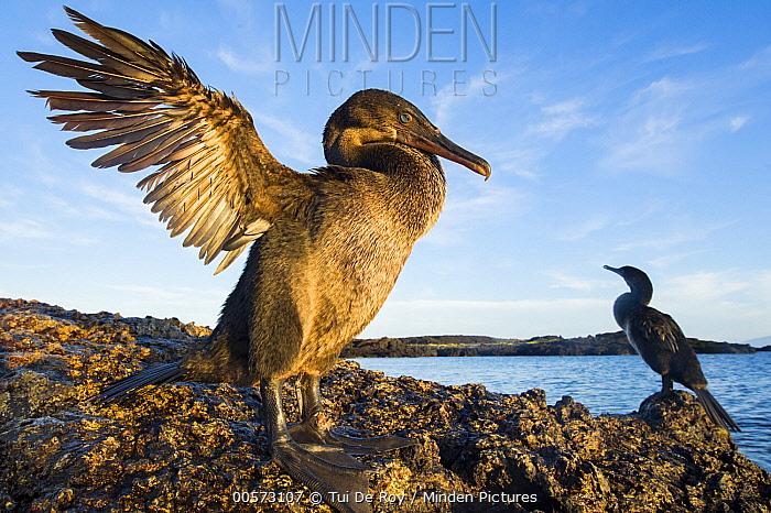 Flightless Cormorant (Phalacrocorax harrisi) pair on coast, Puerto Pajas, Isabela Island, Galapagos Islands, Ecuador