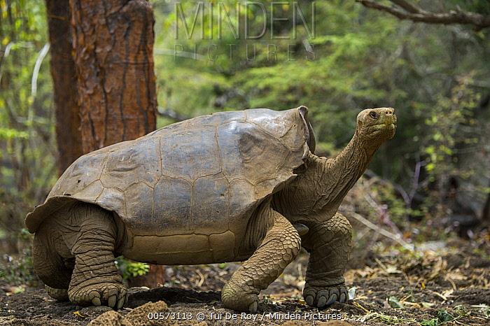 Indefatigable Island Tortoise (Chelonoidis porteri) hybrid with mixed Floreana ancestry, Fausto Llerena Tortoise Center, Santa Cruz Island, Galapagos Islands, Ecuador