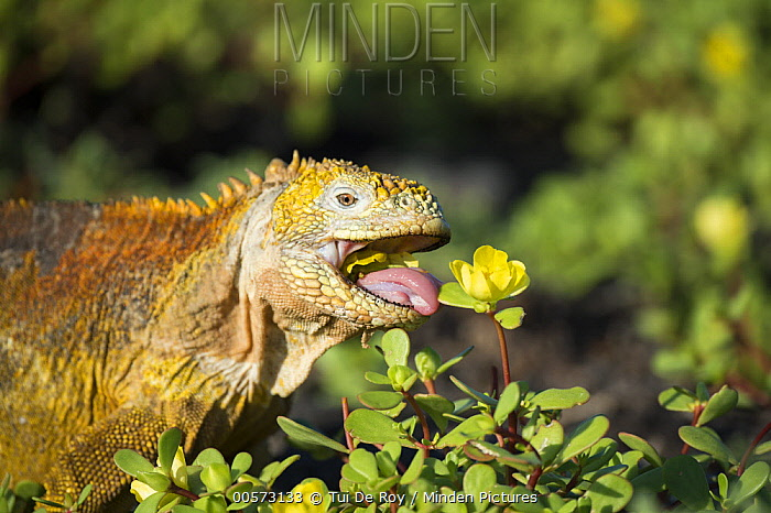 Galapagos Land Iguana (Conolophus subcristatus) feeding on flower, Plazas Island, Galapagos Islands, Ecuador