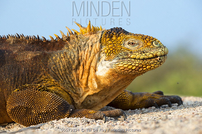 Galapagos Land Iguana (Conolophus subcristatus), Seymour Island, Galapagos Islands, Ecuador
