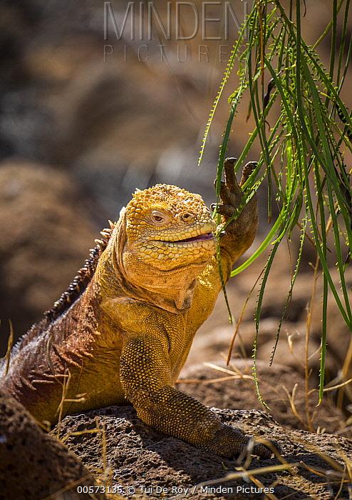 Galapagos Land Iguana (Conolophus subcristatus) browsing, Seymour Island, Galapagos Islands, Ecuador