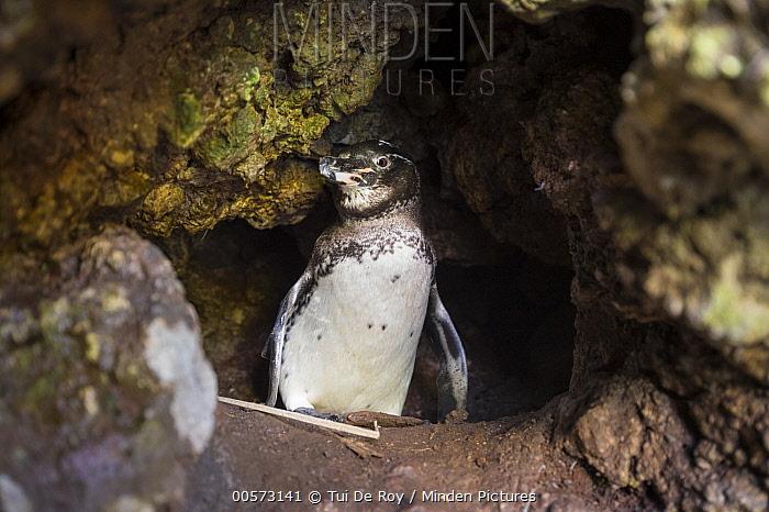 Galapagos Penguin (Spheniscus mendiculus) in burrow, Isabela Island, Galapagos Islands, Ecuador