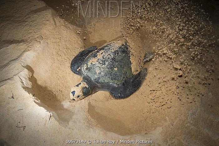 Green Sea Turtle (Chelonia mydas) female nesting on beach at night, Santa Cruz Island, Galapagos Islands, Ecuador