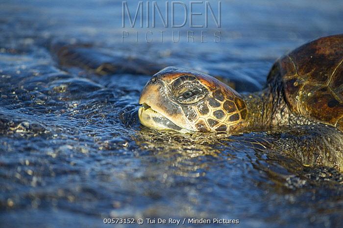 Green Sea Turtle (Chelonia mydas), Punta Espinosa, Fernandina Island, Galapagos Islands, Ecuador