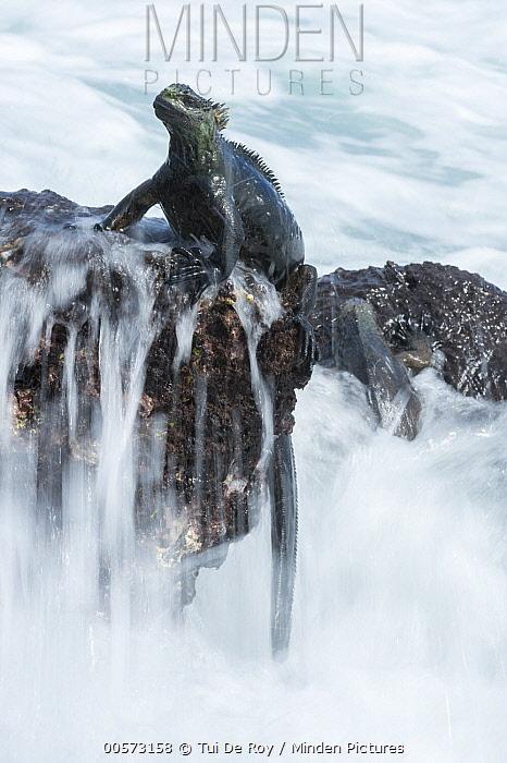 Marine Iguana (Amblyrhynchus cristatus) on coastal rock, Academy Bay, Santa Cruz Island, Galapagos Islands, Ecuador