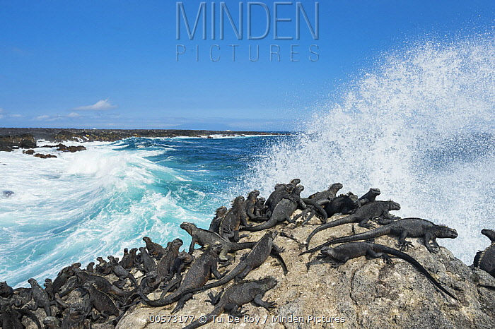 Marine Iguana (Amblyrhynchus cristatus) group basking on coast, Cape Hammond, Fernandina Island, Galapagos Islands, Ecuador