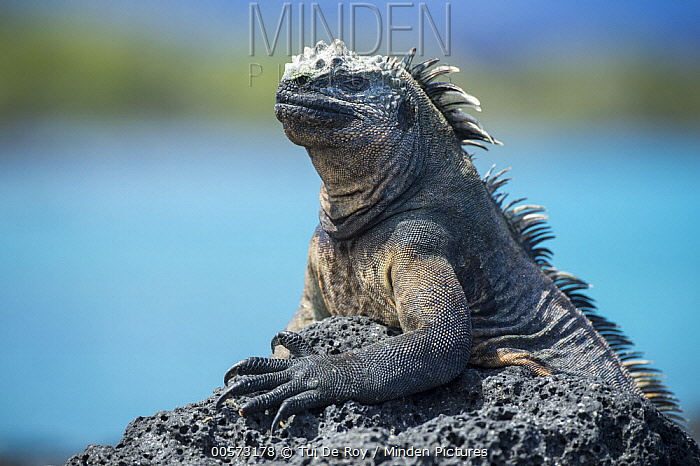 Marine Iguana (Amblyrhynchus cristatus) basking, Punta Espinosa, Fernandina Island, Galapagos Islands, Ecuador