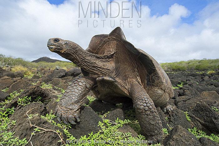 Chatham Island Tortoise (Chelonoidis chathamensis), Galapaguera, San Cristobal Island, Galapagos Islands, Ecuador