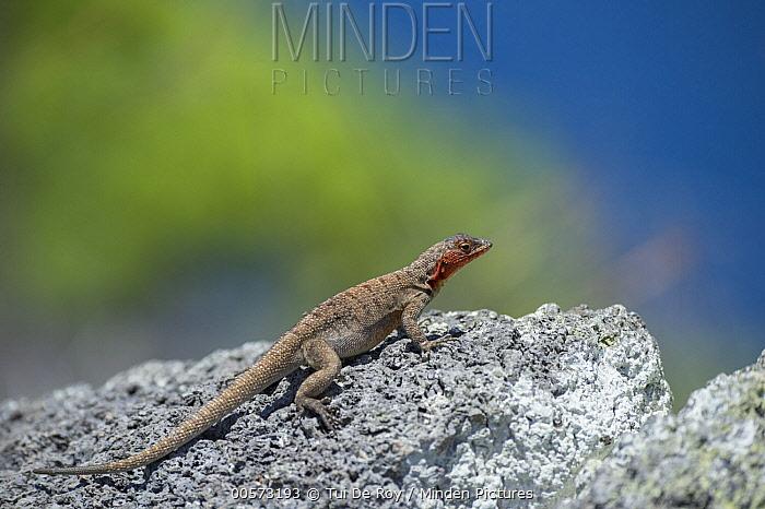 Santa Cruz Lava Lizard (Microlophus indefatigabilis), Santa Fe Island, Galapagos Islands, Ecuador