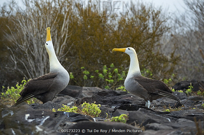 Waved Albatross (Phoebastria irrorata) pair courting, Punta Suarez, Espanola Island, Galapagos Islands, Ecuador, sequence 7 of 7