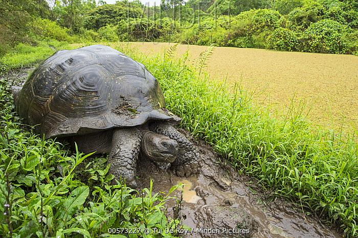 Indefatigable Island Tortoise (Chelonoidis porteri), Santa Cruz Island, Galapagos Islands, Ecuador