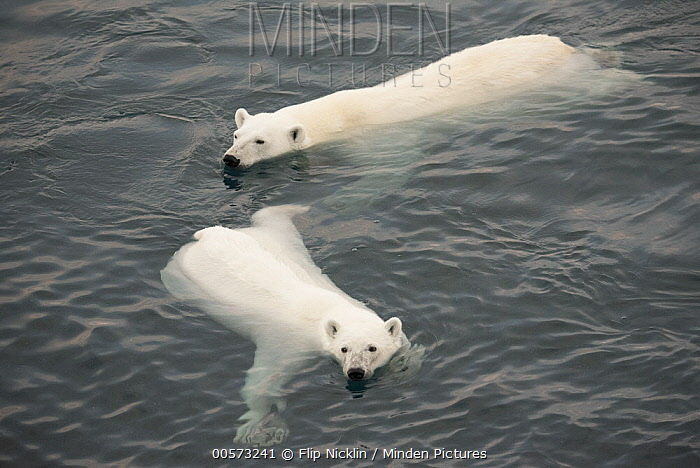 Polar Bear (Ursus maritimus) mother and two year old cub swimming, Arctic