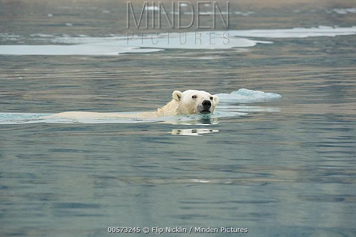 Polar Bear (Ursus maritimus) swimming, Arctic
