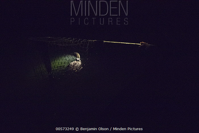 Common Loon (Gavia immer) captured by biologist with net, Crosslake, Minnesota