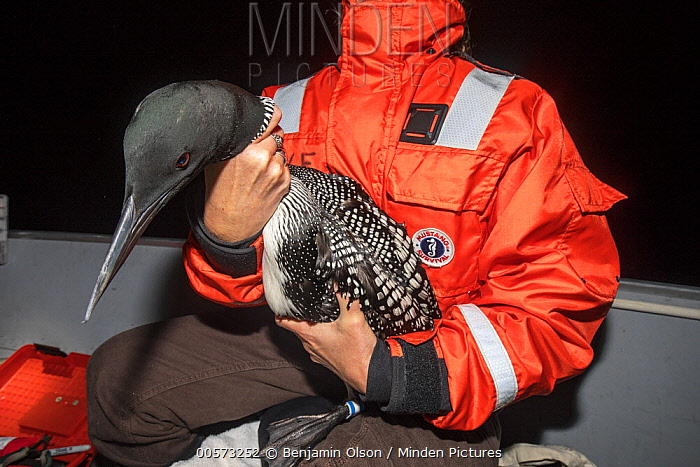 Common Loon (Gavia immer) held by biologist before release, Crosslake, Minnesota