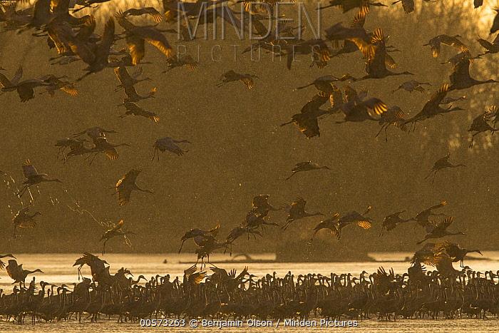 Sandhill Crane (Grus canadensis) flock landing to roost, Platte River, Nebraska