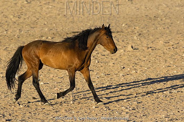 Namib Desert Horse (Equus caballus) stallion running, Namib-Naukluft National Park, Namibia